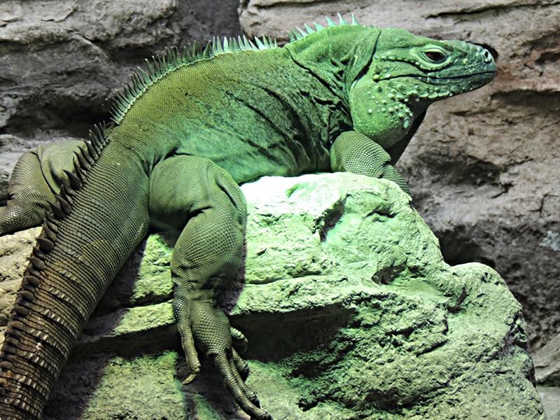 Iguana Blue Iguana Information