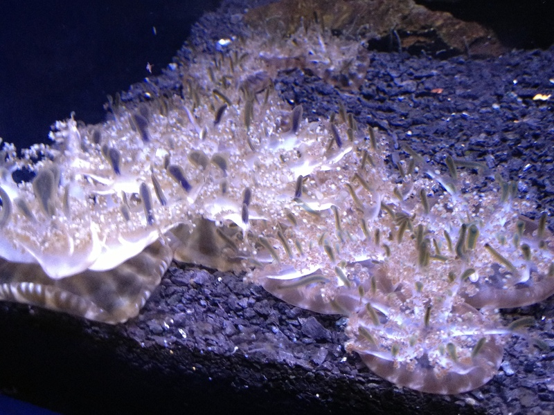 jellyfish upsidedown jellyfish info photo 2