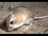 Kangaroo Rat image