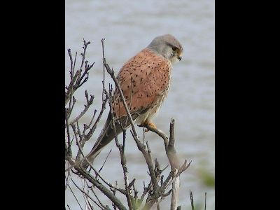 Kestrel  -  Common Kestrel