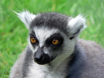 Lemur  -  Ring-Tailed Lemur