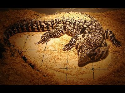 Lizard  -  Argentine Black and White Tegu