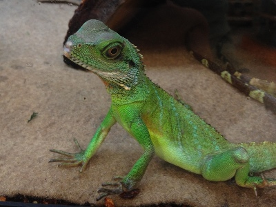 Lizard  -  Chinese Water Dragon