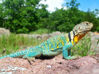 Lizard  -  Common Collared Lizard