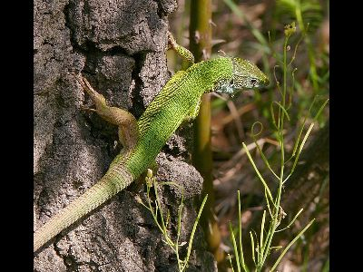 Lizard  -  European Green Lizard