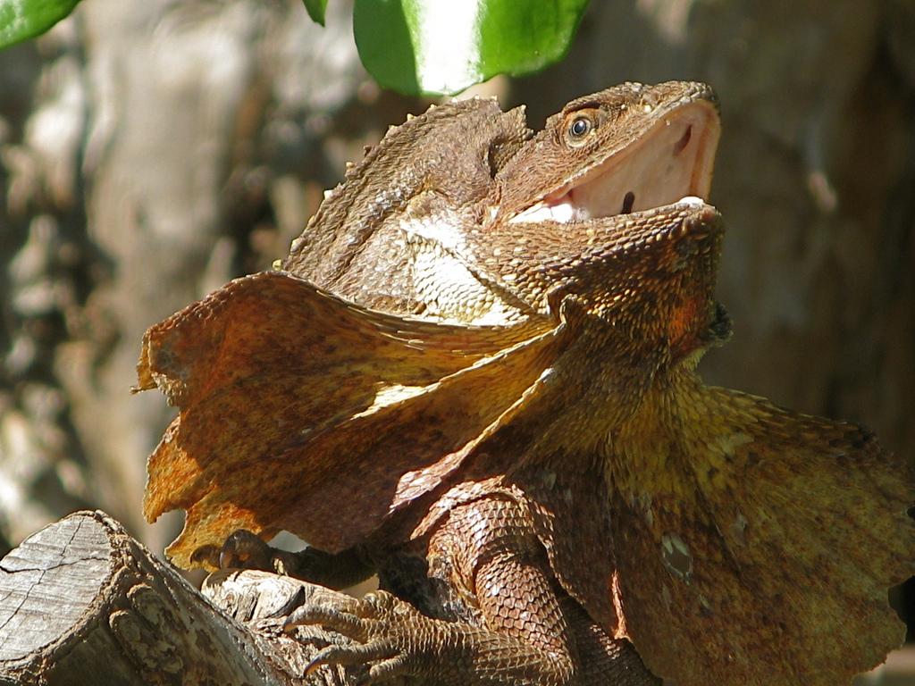 Lizard - Frilled lizard Info - Photo 2
