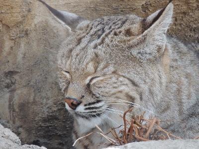 Lynx Bobcat Info Photo 2
