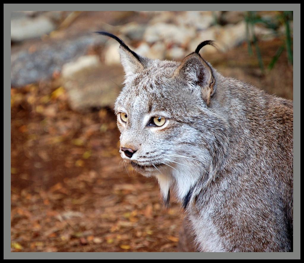 Lynx Canada Lynx Information For Kids