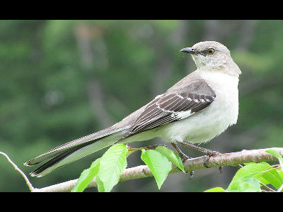 Mockingbird  -  Northern Mockingbird