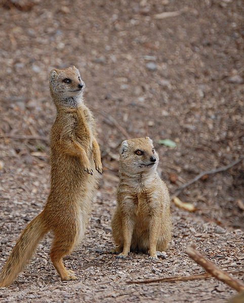 Mongoose information for kids