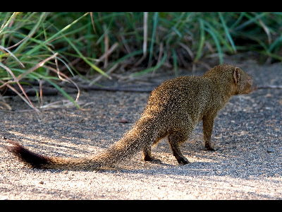 Mongoose  -  Slender Mongoose