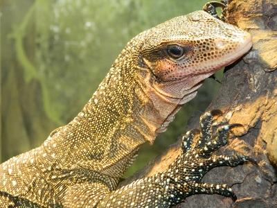 Monitor Lizard Information For Kids