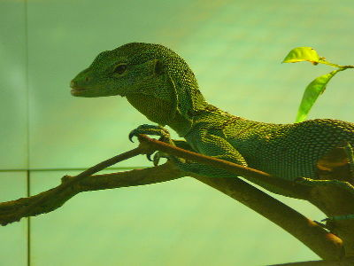 Monitor Lizard  -  Green Tree Monitor