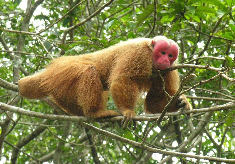 Monkey Bald Uakari Information