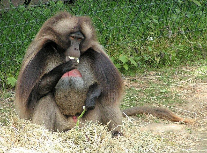 Monkey Gelada Information For Kids