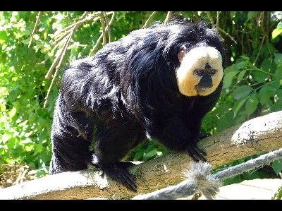 Monkey  -  White-faced Saki