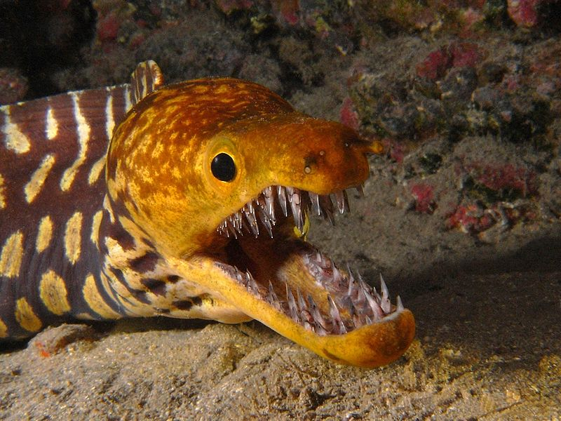 Moray Eel Enemies Moray Eel Fangtooth Moray