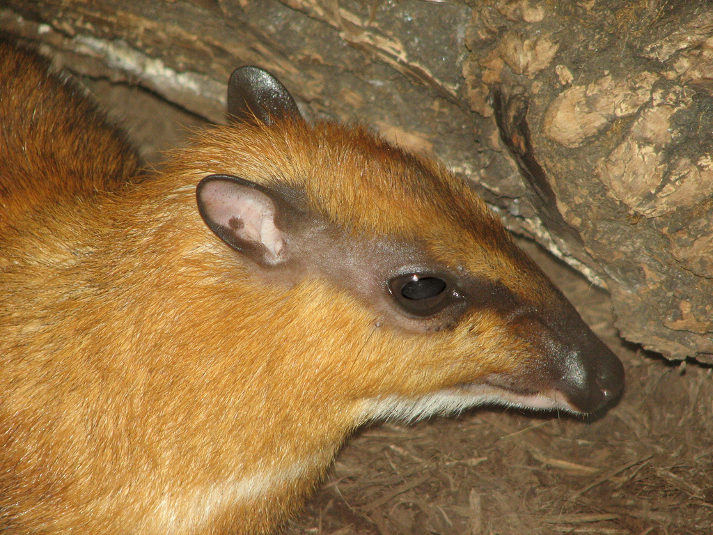 Mouse Deer Information for Kids