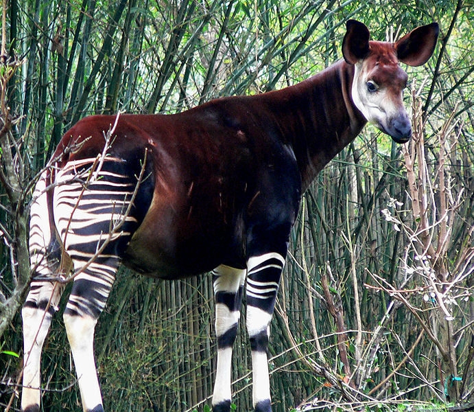 how to draw an okapi