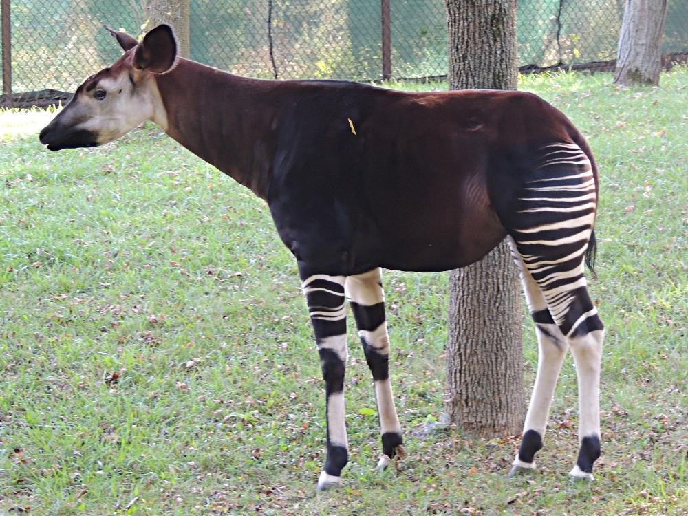 Okapi Info Photo 3