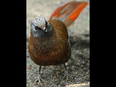 Old World Babbler  -  Red-winged Laughing Thrush