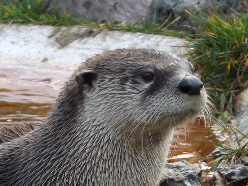 Otter North American River Otter Info Photo 4