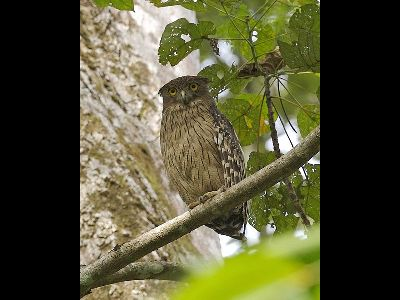 Owl brown fish owl information for kids for Owl fish store