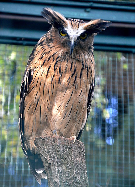 Owl buffy fish owl information for kids for Owl fish store