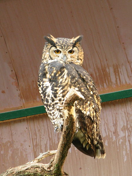 Owl Cape Eagle Owl Information For Kids
