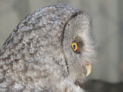 Owl - Great Gray Owl