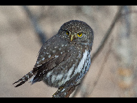 Northern Pygmy Owl image