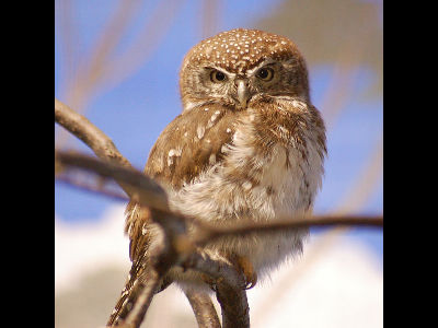 Owl  -  Pearl-Spotted Owlet