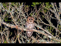 Rusty-barred Owl image