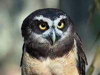 Spectacled Owl image