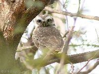 Spotted Owlet image
