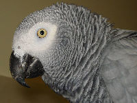 African Gray Parrot image