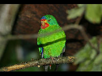 Swift Parrot image
