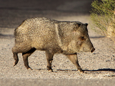 Peccary Facts For Kids