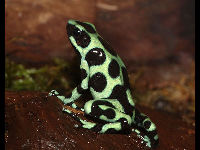 Green and Black Poison-dart Frog image