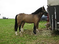 Welsh Pony image