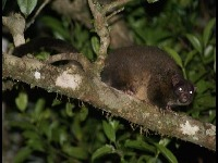 Lemur-like Ringtail Possum image