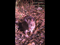 Gambian Pouched Rat image