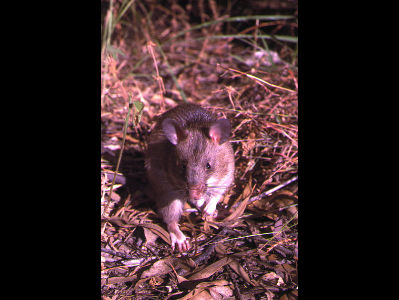 Pouched Rat  -  Gambian Pouched Rat