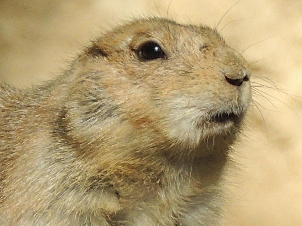 Prairie Dog Info Photo 3