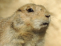 Prairie Dog image
