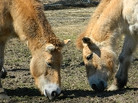 Przewalski's Horse image