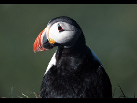 Puffin image