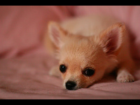 Chihuahua Puppy image