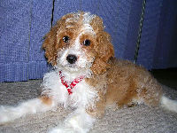 Cockapoo Puppy image