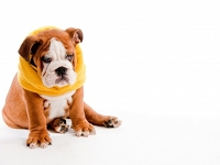 English Bulldog Puppy image